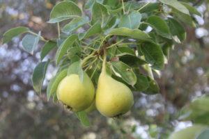 αχλάδια κοντούλες